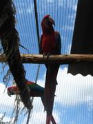 Ara papagaji N42EA