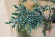 Juniperus sabina 901995_4329196283201_437686144_o
