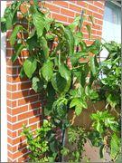 Passiflora alata DSCF9850
