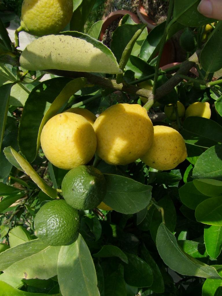 Citroníky - Citrus limon - Stránka 2 DSCF7585