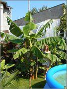 Musa sikkimensis - Stránka 2 Image