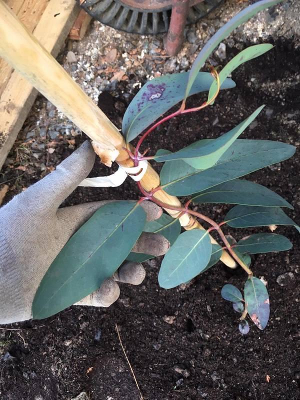 Eucalyptus 17269630_1931245303773439_1285387395_o