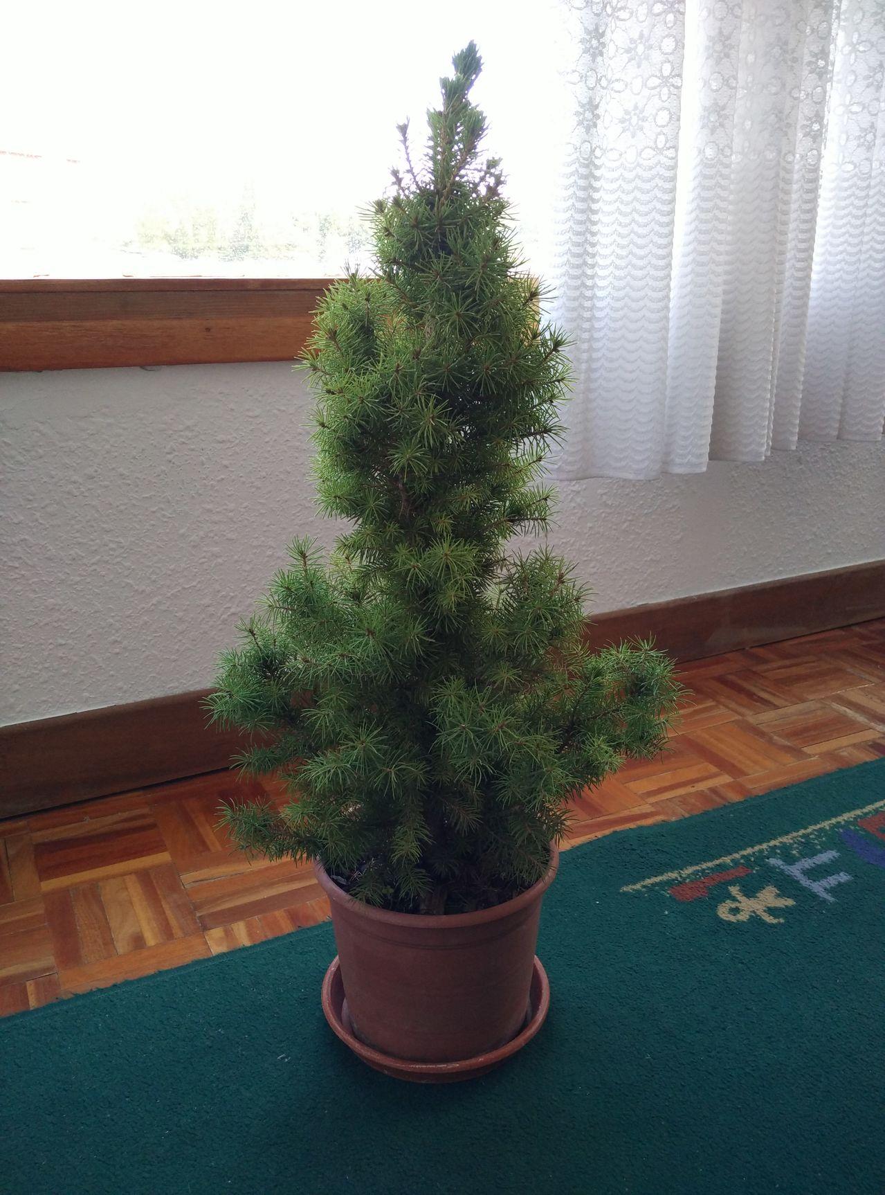 Proyecto bonsái (pícea glauca) IMG_20150821_WA0002