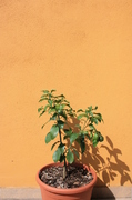 Grepfruity - Citrus paradisi IMG_8015