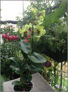 Despre orhideele noastre - discutii - Pagina 2 Image