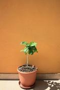 Pomela (Šedok) - Citrus grandis IMG_8050
