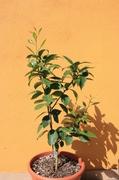 Pomerančovníky - Citrus sinensis - Stránka 4 IMG_8012