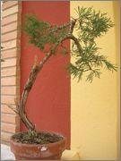 Juniperus sabina 333291_1870555258712_1466000558_o