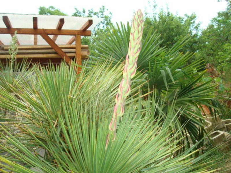 Mrazuodolné juky - rod Yucca - Stránka 6 DSC02900