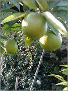 Pomerančovníky - Citrus sinensis - Stránka 3 2014_10_18_16_43_39