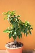 Pomerančovníky - Citrus sinensis - Stránka 4 IMG_8049