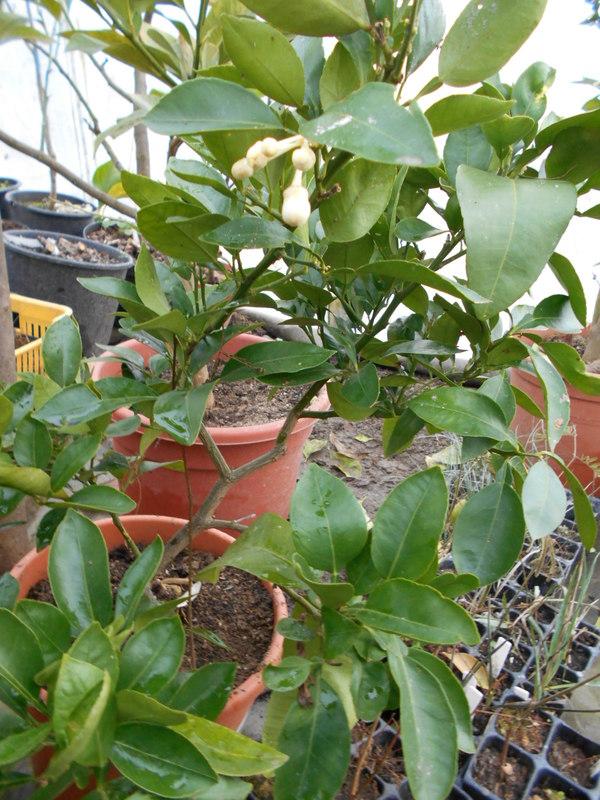 Grepfruity - Citrus paradisi DSCN0851
