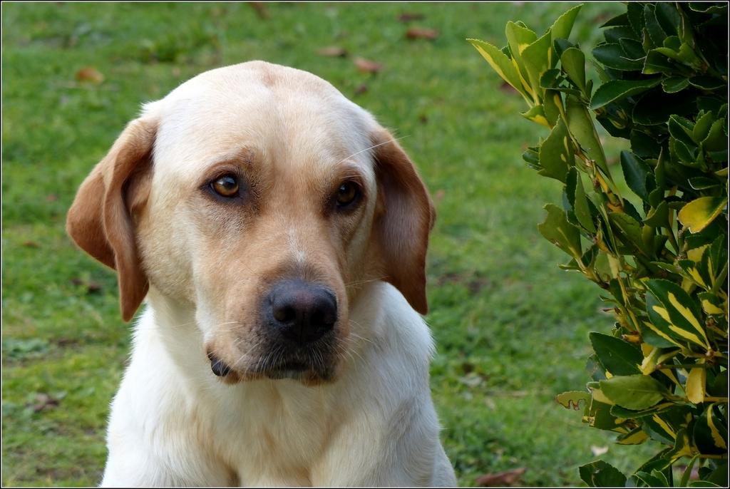 Labradorissimo... P1310793