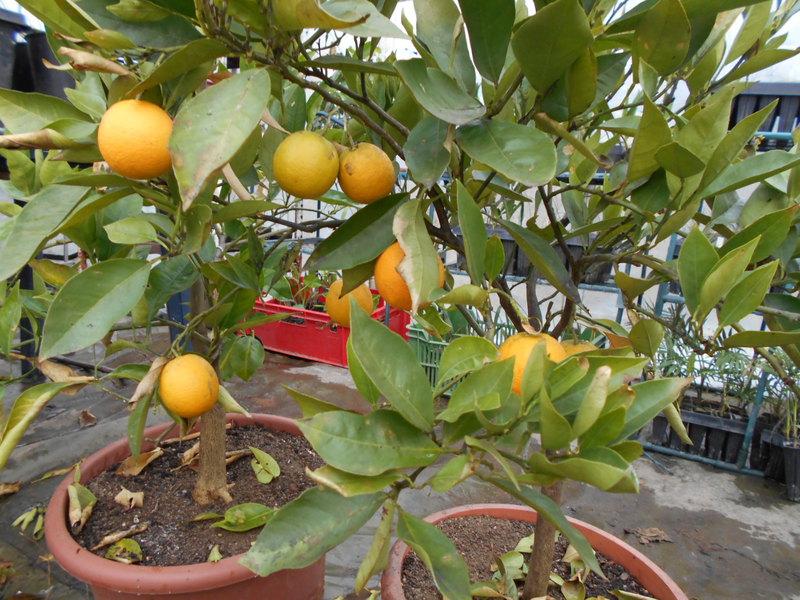 Pomerančovníky - Citrus sinensis - Stránka 4 DSCN0850