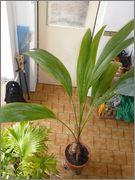 Cocos nucifera - Stránka 6 18_10_2014_12