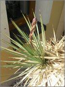 Mrazuodolné juky - rod Yucca - Stránka 3 20140601_163541