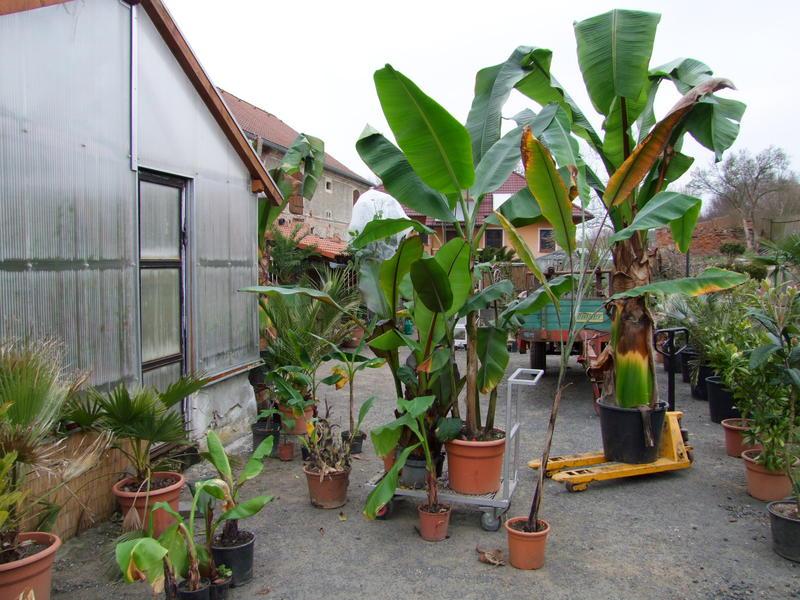 Zimování mrazuodolných banánovníků DSCF4806
