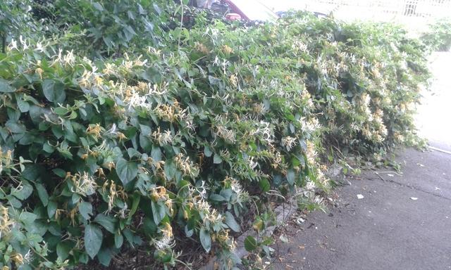 Chèvrefeuille des Jardins  -Lonicera- plante grimpante à  floraison très parfumée 20150529_183542