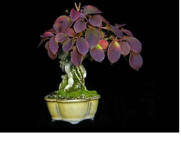 Bonsai - Page 6 Image