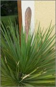 Mrazuodolné juky - rod Yucca - Stránka 3 20140601_163520