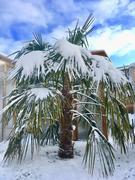 Palmy pod sněhem - Stránka 2 Image2