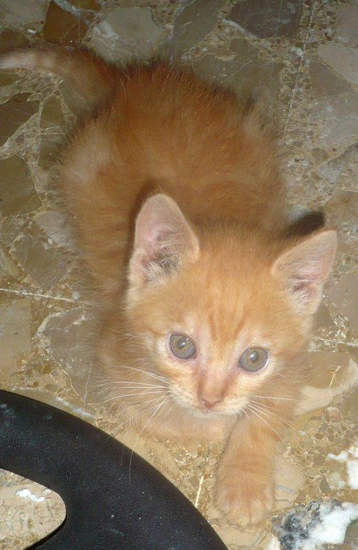 MERMELADA gatita naranja 2 meses URGE adopción-Córdoba 11012967_1129046820455256_2666179615036161826_o