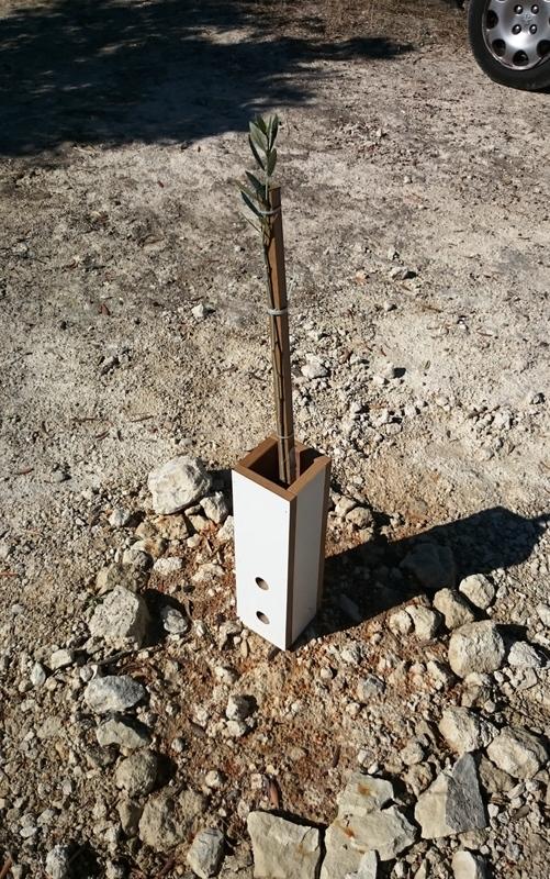 Crecimiento de plantones olivo 8wmull