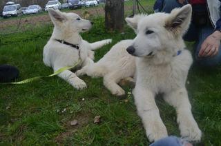 Beli švicarski ovčar, berger blanc suisse, white swis shepherd, witte herder,swtitzserse weisse shafferhund 534002_634852969862073_550516445_n