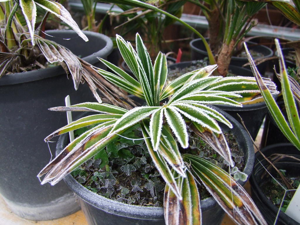 Trachycarpus geminisectus DSCF7999
