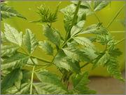 Určení druhu rostliny P4210060