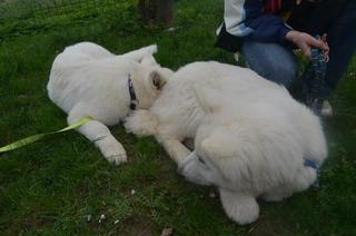 Beli švicarski ovčar, berger blanc suisse, white swis shepherd, witte herder,swtitzserse weisse shafferhund 387229_634852946528742_13588687_n