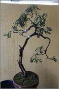 Juniperus sabina 901877_4331106570957_999696305_o