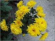Crizanteme&Tufănele  (temă pentru Ionuţ ) - Pagina 2 025
