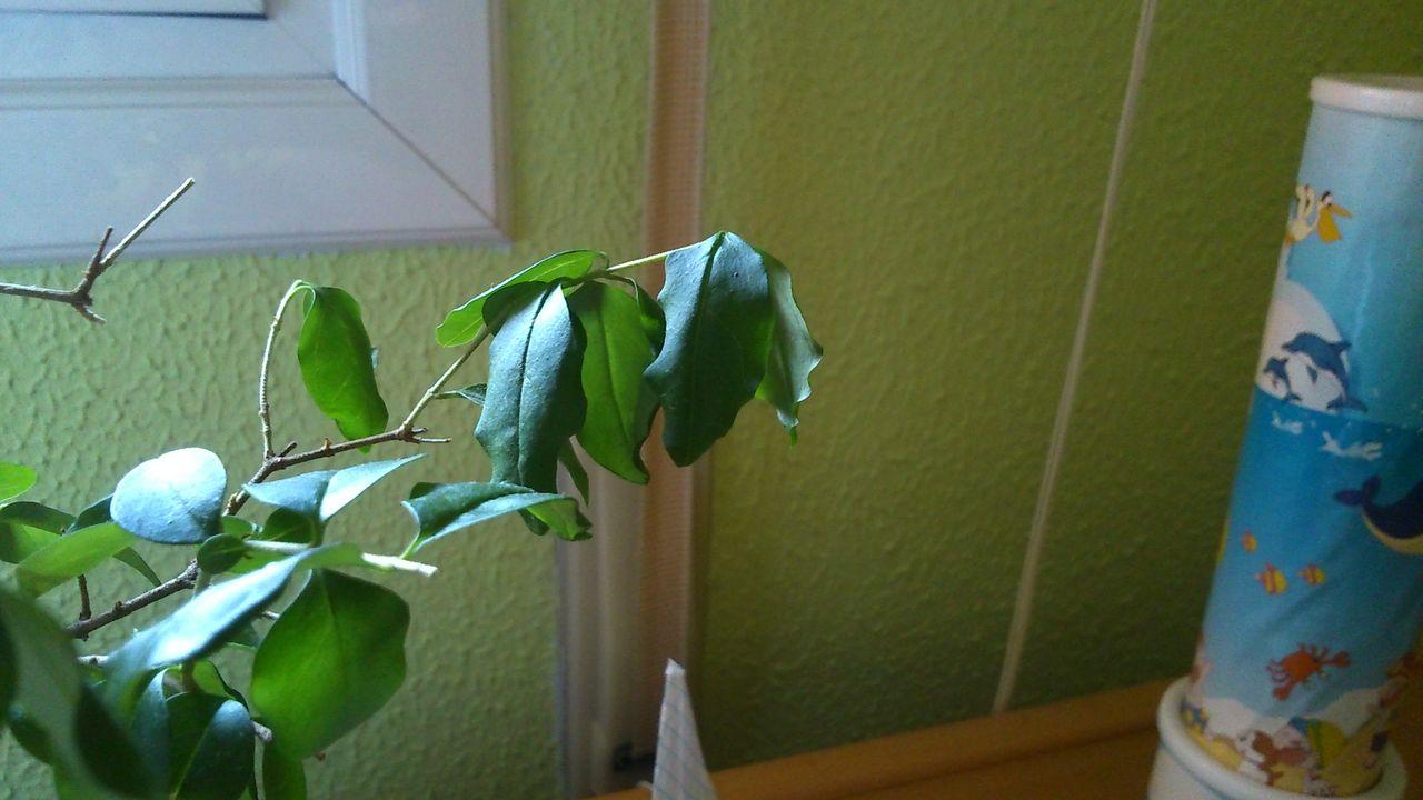 A mi bonsai se le caen las hojas verdes al tocarlas DSC_0167