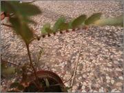 Určení druhu rostliny - Stránka 3 P9071646