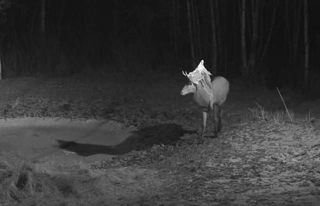 Red Deer Cam (Saarema Island)  - Page 18 Hert_met_sluier_of_handdoek