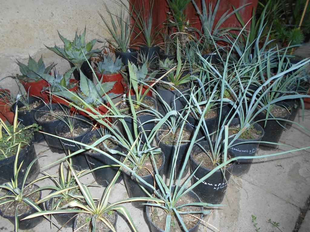 Mrazuodolné juky - rod Yucca - Stránka 6 DSCN1700