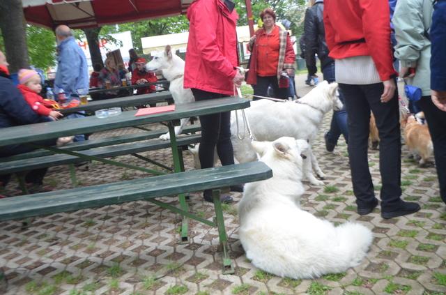 Beli švicarski ovčar - Page 6 CACIB_MARIBOR_2014_499