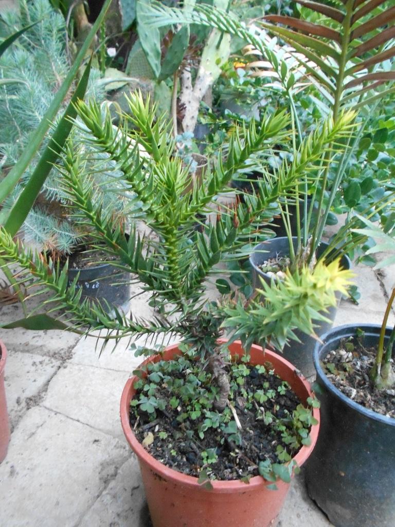 Araucaria araucana DSCN1706
