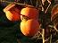 Ovoce mírného pásma