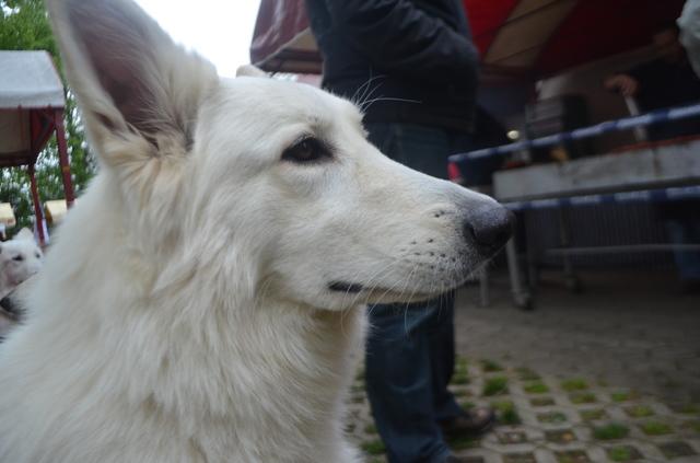 Beli švicarski ovčar - Page 6 CACIB_MARIBOR_2014_542