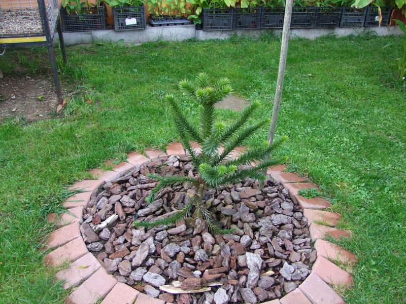 Araucaria araucana DSCF3020