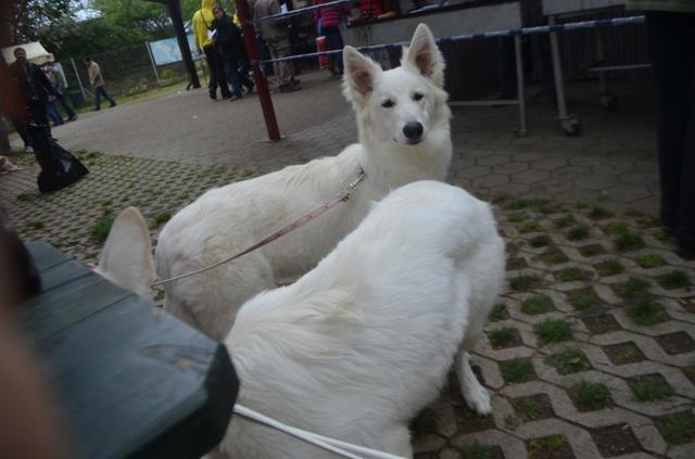 Beli švicarski ovčar - Page 6 CACIB_MARIBOR_2014_579