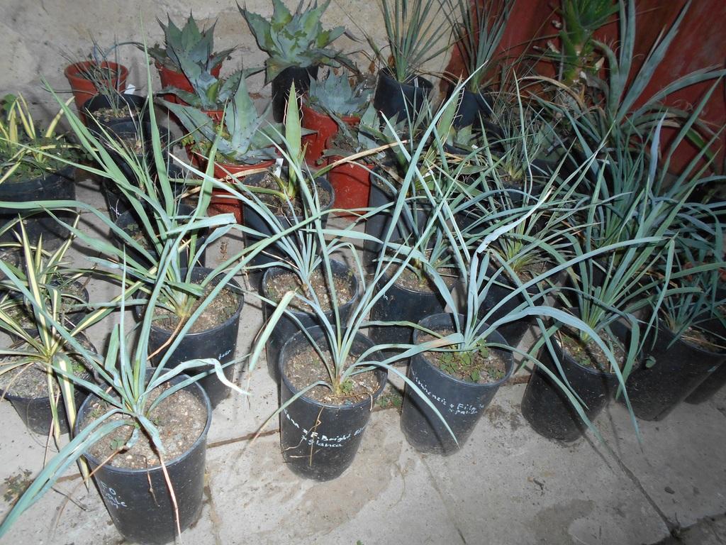Mrazuodolné juky - rod Yucca - Stránka 6 DSCN1702