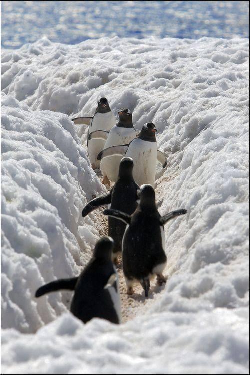 Pingvini - Page 3 11693_778788012198936_6360269987389716134_n