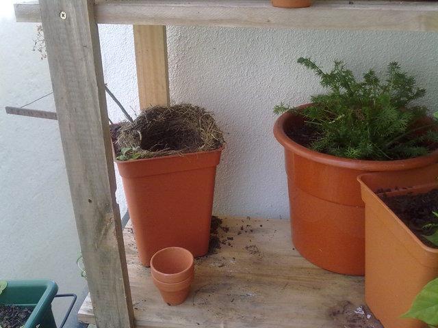 Melros na minha varanda 022