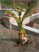Ensete ventricosum (vč. maurellii) P4040050
