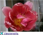 Выгонка луковичных. Тюльпаны, крокусы и др. - Страница 3 875fb8733a9dt