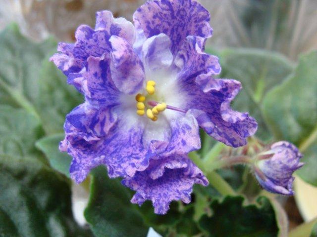 Мои цветочки - Страница 13 0cc00a133328