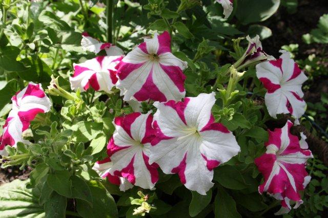 Однолетние растения - Страница 2 C98708ee792c